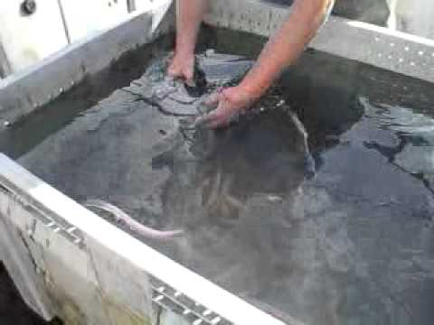 guy collects eel slime