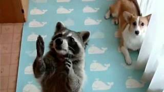 Raccoon + dog = tournament. Енот + пес = турнир.
