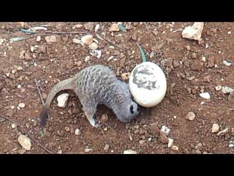 Suricata suricatta / Slender-tailed meerkat