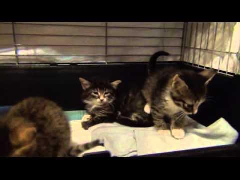Котята, 1 месяц, 2 мальчика и девочка.