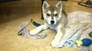 Howl The Siberian Husky Puppy's First Collar Experience