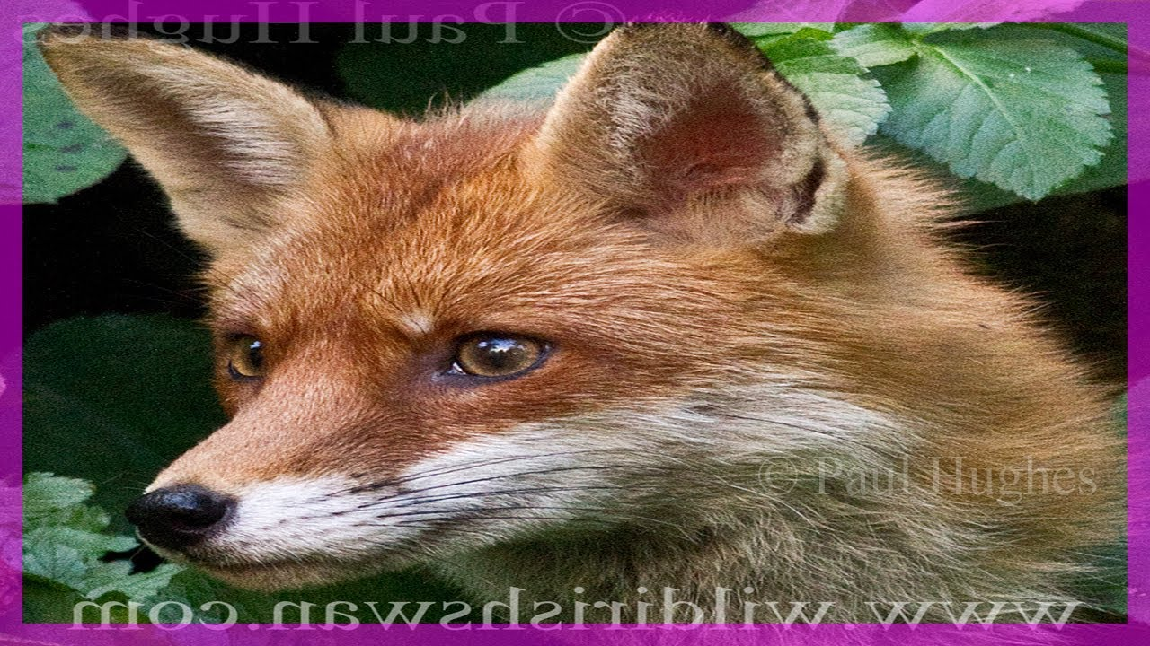 Listen to this friendly fox mother