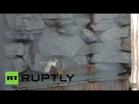 Russia: Pet cat adopts baby lynx rejected by its mother