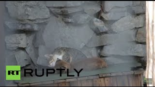 Russia: Pet cat adopts baby lynx rejected by its mother thumbnail