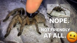 I THOUGHT SHE WAS FRIENDLY ~ Great Horned Baboon TARANTULA !!!