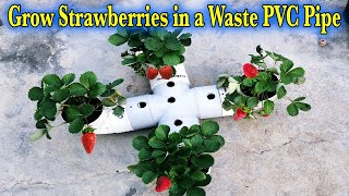 How to Grow Strawberries in a waste PVC Pipe  Strawberry Grow to Harvest  n the Winter Season