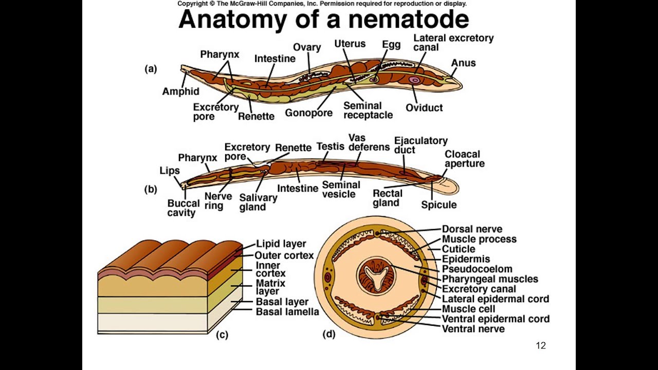 Phylum Nematoda Part 1 Notes Youtube