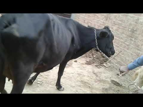 Olx 2 Cows For Sales(2)