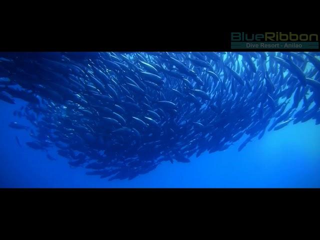 Big-Eyed Trevally - Anilao, Philippines at Blue Ribbon Dive Resort