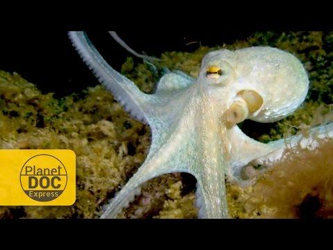 Octopus vs Hermit Crab