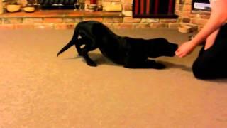 16 Week Intelligent Labrador Puppy Tricks  Dog Training