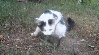 Бой кошки и крысы