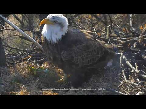 DC Eagle Cam 2-15-17: Sub-adult Visitor at DC Nest