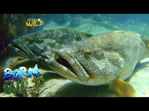 Born to Be Wild: Exploring the life of Lapu-lapu in Juag lagoon