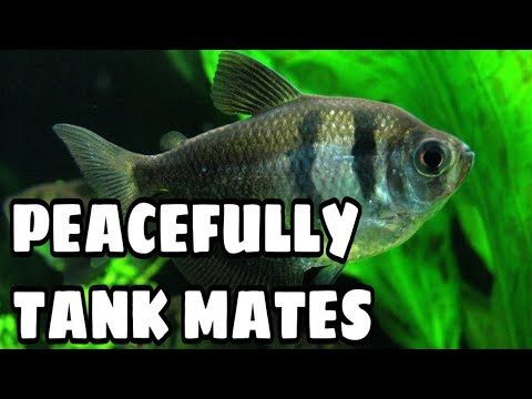 Tank Mates For Black Skirt Tetra Fish | My Subscriber Requested Video