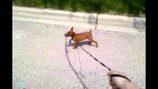 Red Miniature Pinscher - Jack