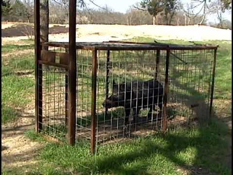 Get the Hog Outta Texas