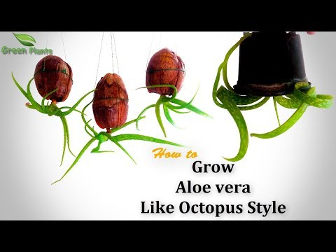How to Grow Aloe vera Like Octopus Style | Aloe vera Upside down Planting | Aloe vera //GREEN PLANTS