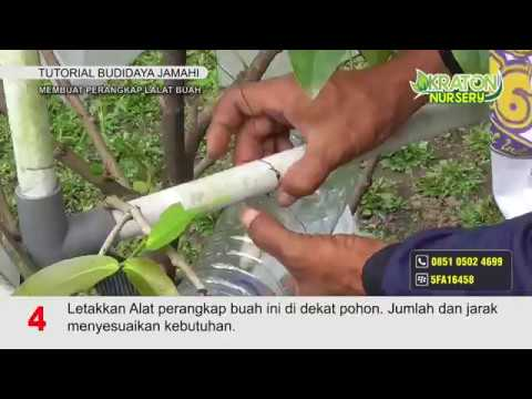 tips-membuat-perangkap-lalat-buah-untuk-jambu-madu-hijau
