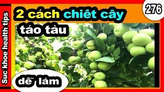 2 Cách chiết cây táo tào ĐƠN GIẢN, #276 propagating jujubes _ plant care tips,  SKHT