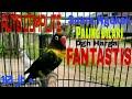 Lovebird Ngetik Ngekek Istimewa Lb Paud Ngekek Panjang Livebird  Mp3 - Mp4 Download