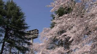 さくらが満開の富士森公園に・・・