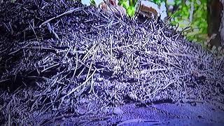 БИОСФЕРА: 102. Рыжий Лесной Муравей (Formica Rufa)