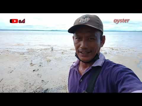 MENCARI KERANG MENEMUKAN GUMPALAN JENIS TIRAM//OYSTER @Satria Diman