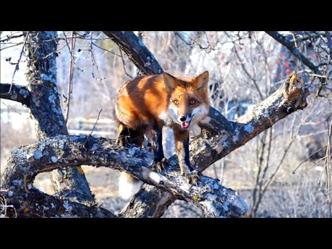 Funny Foxy Pride Plan To Build A New Enclosure For Foxes