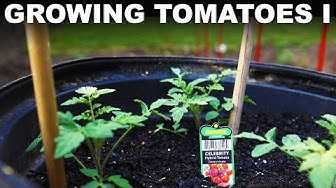 How to grow tomatoes, p. 1: Preparing and planting