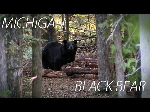 Bear Hunting Over Bait - Michigan Black Bear Hunting