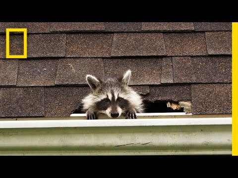 How to Evict Your Raccoon Roommates   National Geographic