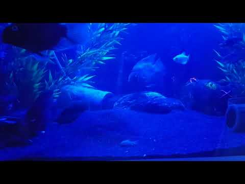 Blood Red Parrot Fish When The Lights Out