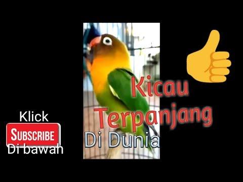 Suara LoveBird Juara - Lovebird kicau burung ngekek terlama