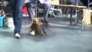 """12.04.2014 Cacib """"tallinn Winner 2014"""" Yorkshire Terrier. Judge: Andrew Brace(uk)"""