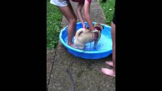 Pug In Pool