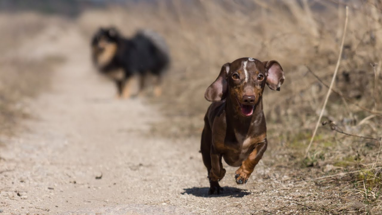 Dachshund Walking