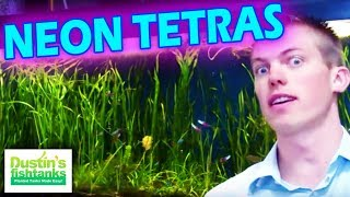 How to keep Neons Tetras in a Planted Aquarium. ALL NEONS TETRAS in a75 gallon Fish Tank