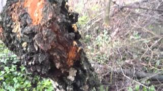 birch chaga,這白樺茸被砍過