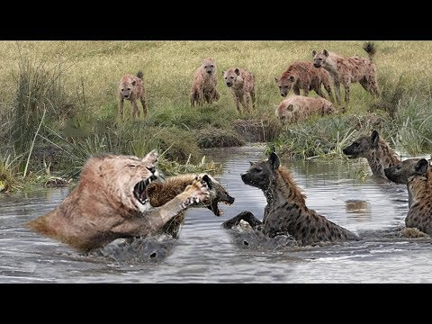 Wild Animals Fighting - Hyena vs Lion vs...