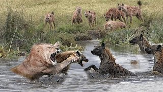 Wild Animals Fighting - Hyena vs Lion vs Leopard Fight in the wild
