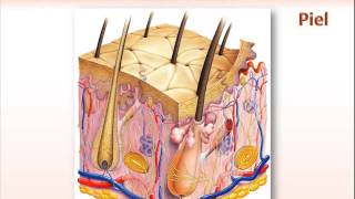 Capilar interna estructura