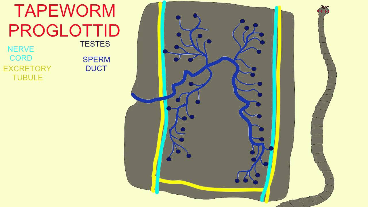 Tapeworm proglottid labels youtube tapeworm proglottid labels ccuart Gallery