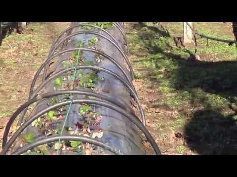 видео: Как получить сверх ранний урожай клубники. Парник своими руками.