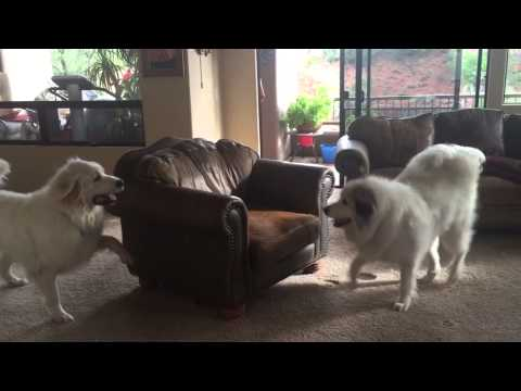 Zoey & Zeus - Great Pyrenees playing