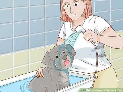 How to Groom a Schnoodle Dog