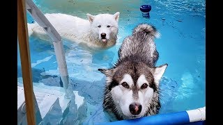 My Dogs Jump In Pool When I Chase Them With A Leaf Blower