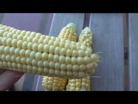 Сравниваю три лучших сорта кукурузы на моем участке ТРОЙНАЯ СЛАДОСТЬ, КУБАНСКАЯ КОНСЕРВНАЯ, БЫЛИНА