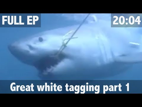 THE SEARCH FOR THE GREAT WHITE SHARK