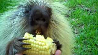 """Teddy Bear,"" the porcupine, doesn"